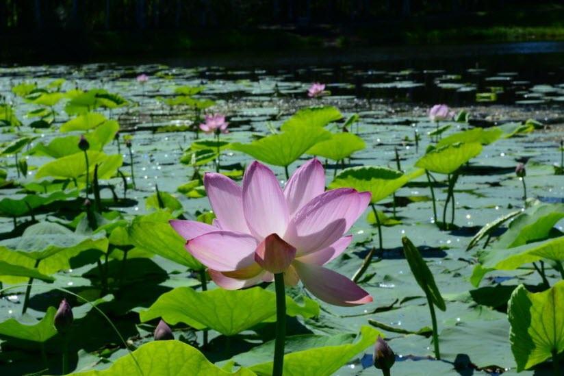 Озеро лотосов в Ивановке