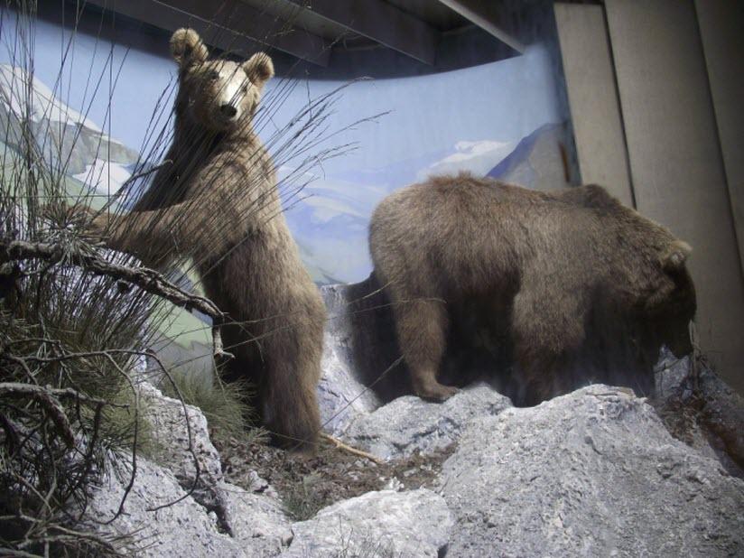 чучела медведей в музее