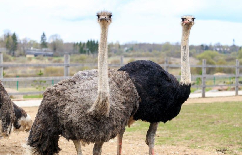 Изборский страус