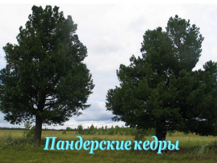 Пандерские кедры