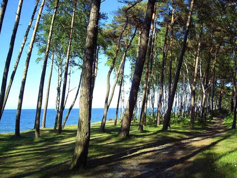 Сосновый бор в городе Пионерский