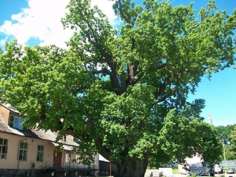 Старейшее дерево Калининградской области