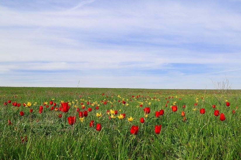 Полуостров тюльпанов