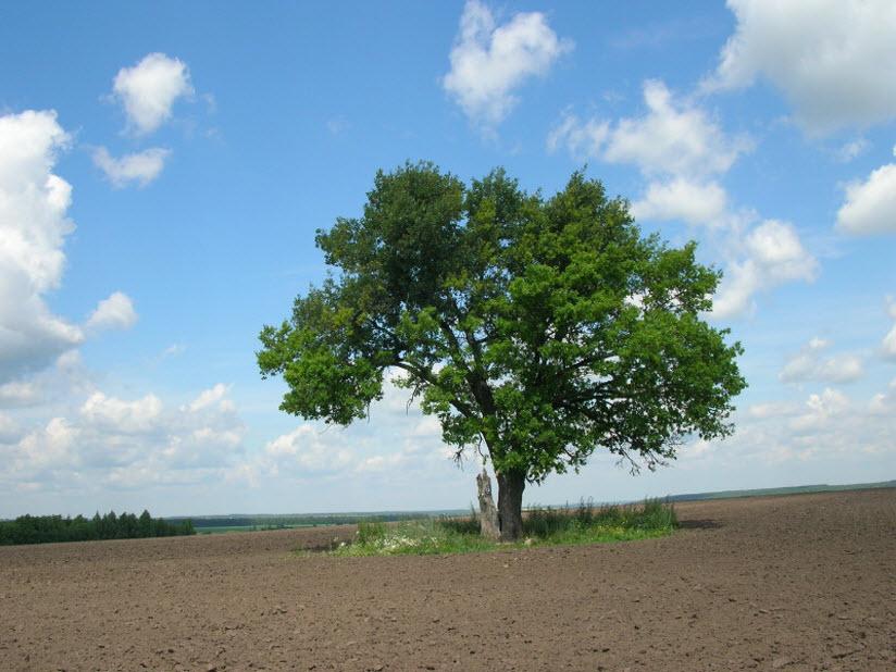 Сторожевой дуб в Сапожковском районе