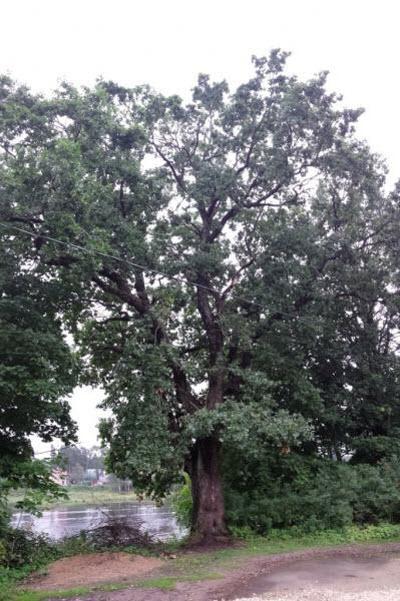 Легендарный дуб