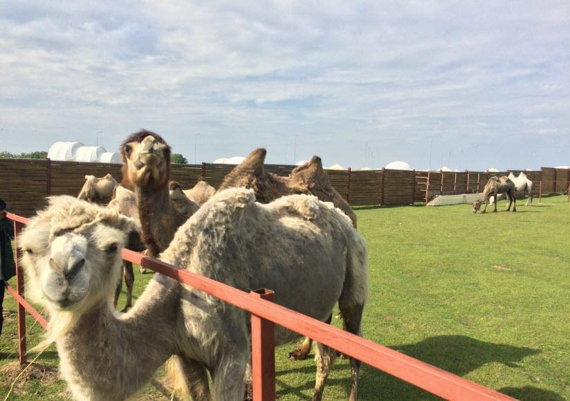Верблюжья ферма «Laidoya»