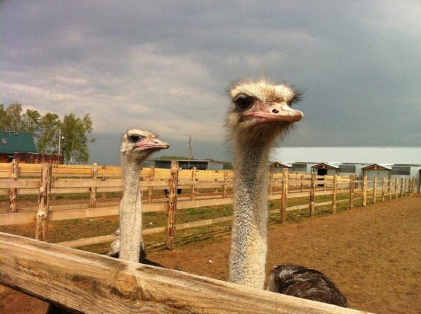 Ферма Шартомский страус