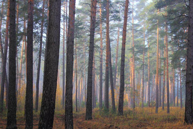 Петропавловский сосновый бор