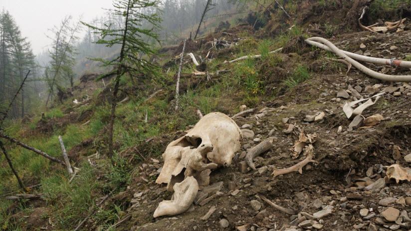 Берелехское кладбище мамонтов